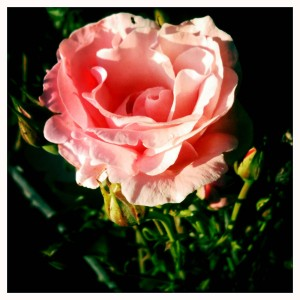 rose rice rim